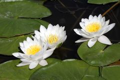 White water lilies in dark water. White water lilies in dark water on a sunny day Royalty Free Stock Image