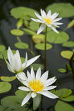 White Water Lilies. White water lilies flowering in a pond with lily pad leaves, tranquil scene Stock Photos