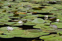 White water lilies. Flowers and leaves, floating in dark water Stock Photos