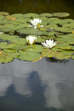 White Water Lilies on a Garden Pond. European white water lilies (Nymphaea alba) and pads floating on a pond Stock Photos