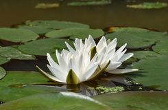 White water lilies with green petals on the round large leaves. On a flat surface of the pond stock images