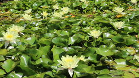 White water lilies. Growing in quiet waters of pond stock footage