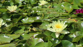 White water lilies growing in quiet waters of pond. Closeup of White lilies in quiet waters of the reservoir stock video footage