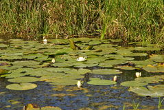 White water lilies. Growing in the river in summer Stock Image