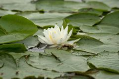 White water lilies. Isolated white water lilies in the sunshine near Linesville Pennsylvania Royalty Free Stock Photo