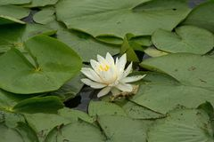 White water lilies. Isolated white water lilies in the sunshine near Linesville Pennsylvania Stock Image