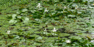 White water lilies in the lake. White water lilies blooming in the lake Stock Photos