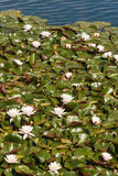 White water lilies on lake. White water lilies growing on lake Stock Photos