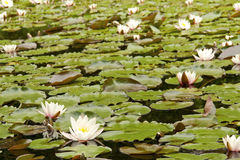 White Water Lilies on a lake Royalty Free Stock Photos