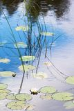 White water lilies in the lake. White water lilies in the water with rings of rain Royalty Free Stock Photo