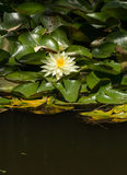 White water lilies. / lotus float on top of a koi pond in Southern California Stock Image