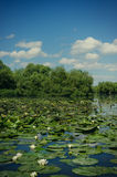 White water lilies. (Nymphaea sp) plants in the Danube Delta Royalty Free Stock Photo