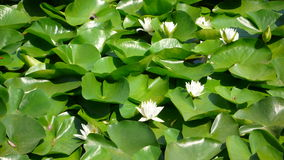 White Water Lilies. On a pond Stock Image