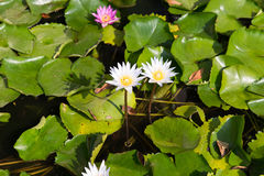 White water lilies in pond Stock Photography