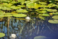 White water lilies in the Romanian Danube Delta.beautiful European white water lilly in Danube Delta, Romania. Nymphaea alba Stock Photography