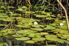 White water lilies in the Romanian Danube Delta.beautiful European white water lilly in Danube Delta, Romania. Nymphaea alba Stock Photo