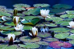 White water lilies in sunny day. White water lilies on a pond in sunny day stock photos
