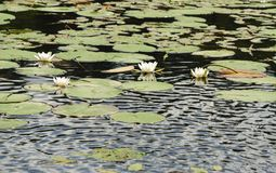White water lilies on the surface of the lake Royalty Free Stock Image