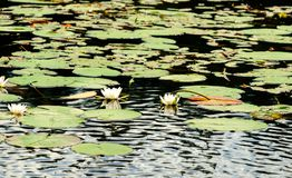 Lake with blooming white water lilies Royalty Free Stock Images