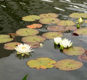 White water lilies on the water surface of the pond. White water lilies on the water stock images