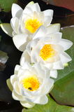 White Water Lilies. Three white water lilies with lily pads Stock Images
