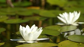 White water lilies Stock Photography