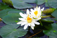 White water lilies. Two pale white water lilies with yellow carpel Stock Images