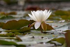 White water lilies on the Veluwe Stock Image