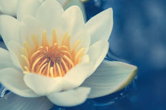 White water lilies with yellow center on the water. Macro photo Royalty Free Stock Photography