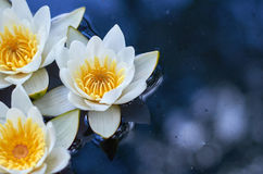 White water lilies with yellow center on the water. Macro photo Stock Image