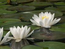 White water lillies. Water lillies on a calm pool Stock Image