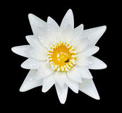 White water lilly. Water drop on white water lilly Royalty Free Stock Image