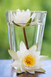 White water lilly. In vase royalty free stock image