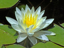 White water-lilly. Close-up of a white water lilly and lilly pads Stock Photography
