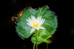 White water lilly Royalty Free Stock Photography