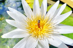 White Water Lilly. Beautiful White Water Lilies with bee Royalty Free Stock Image