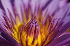 White water lilly. Water lilly flower bloom after sun rise Royalty Free Stock Photo