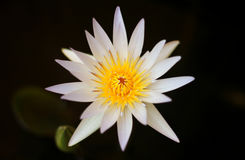 White water lilly. Water lilly flower bloom after sun rise Stock Image