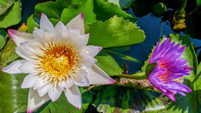 White water lilly flower Royalty Free Stock Images
