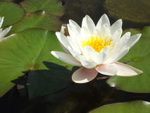 White Water Lilly Flower Stock Photography