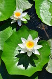 White water lilly flowers (lotus). Bright white water lilly flowers on floating green pads stock photos