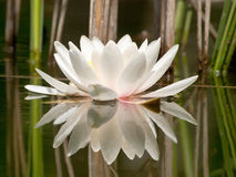 White water lilly. In pond and reeds reflection Royalty Free Stock Images