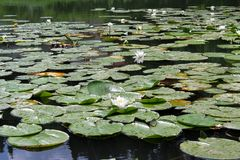 White water Lily — a perennial aquatic plant. Мontenegro. stock image