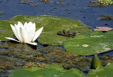 White water lily. And leaf stock photos