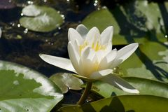 White water lily. With green leafs royalty free stock photography