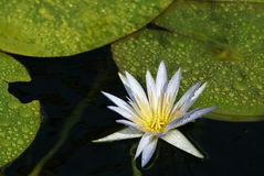 White water-lily royalty free stock image
