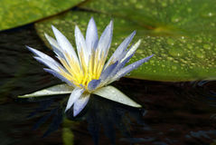 WHITE WATER-LILY royalty free stock images