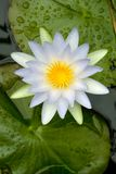 White water lily. Open flower of a fragrant white water lily seen from above Royalty Free Stock Photo