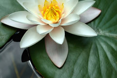 White water lily. In a pond Royalty Free Stock Image