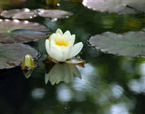 White water lily Stock Photography